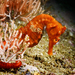 Giant Seahorse - Photo (c) valeriamas, some rights reserved (CC BY-NC)