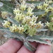 Asclepias prostrata - Photo (c) Sam Kieschnick,  זכויות יוצרים חלקיות (CC BY)