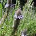 Verbena lasiostachys - Photo (c) randomtruth, algunos derechos reservados (CC BY-NC-SA)