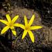 Cyrtanthus breviflorus - Photo (c) Richard Booth, algunos derechos reservados (CC BY-NC)