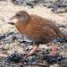 Gallirallus australis scotti - Photo (c) Tan Kok Hui, algunos derechos reservados (CC BY-NC)