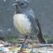Stewart Island Robin - Photo (c) Tan Kok Hui, some rights reserved (CC BY-NC)