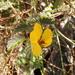 Chamaecrista lineata - Photo (c) lydiamc, algunos derechos reservados (CC BY-NC-ND)