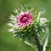 Plumeless Thistles - Photo (c) Izabella Farr, some rights reserved (CC BY-NC)