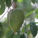 Soursop - Photo (c) Arturo Arenas, some rights reserved (CC BY-NC-ND)