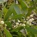 Acacia Negra de Tasmania - Photo (c) Tony Rodd, algunos derechos reservados (CC BY-NC-SA)