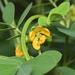 Senna obtusifolia - Photo (c) Liu JimFood, μερικά δικαιώματα διατηρούνται (CC BY-NC)