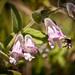 Lepechinia fragrans - Photo (c) Reciprocity D Parture, algunos derechos reservados (CC BY-NC-ND)
