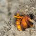 Ciliopagurus tricolor - Photo (c) Ewout Knoester, algunos derechos reservados (CC BY-NC)