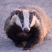 European Badger - Photo (c) Paul Bowyer, some rights reserved (CC BY-NC)