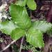 Quercus tomentella - Photo (c) 2003 Keir Morse,  זכויות יוצרים חלקיות (CC BY-NC-SA)
