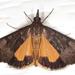 Uresiphita ornithopteralis - Photo (c) Victor W Fazio III, algunos derechos reservados (CC BY-NC)