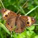 Mariposa Ojo de Venado Tropical - Photo (c) Wayne Fidler, algunos derechos reservados (CC BY-NC)
