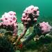 Pyura spinifera - Photo (c) John Turnbull, μερικά δικαιώματα διατηρούνται (CC BY-NC-SA)