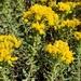 Coastal Goldenbush - Photo no rights reserved