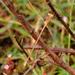 Lestes concinnus - Photo (c) Subhajit Roy, algunos derechos reservados (CC BY-NC-ND)