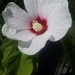 Swamp Rose Mallow - Photo (c) jjp, some rights reserved (CC BY-NC)
