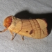 Spotted Datana Moth - Photo (c) Lori Owenby, some rights reserved (CC BY-NC)