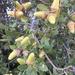 Quercus wislizeni - Photo (c) Don Rideout, algunos derechos reservados (CC BY-NC)