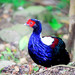 Swinhoe's Pheasant - Photo (c) Gaozi Chen, some rights reserved (CC BY-NC)