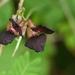 Purple Bush-Bean - Photo no rights reserved