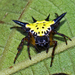 Hasselt's Spiny Spider - Photo (c) Vijay Anand Ismavel, some rights reserved (CC BY-NC-SA)