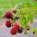 American Red Raspberry - Photo (c) Ken Potter, some rights reserved (CC BY-NC)