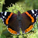 Red Admiral - Photo (c) Gilles San Martin, some rights reserved (CC BY-SA)