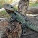 Gippsland Water Dragon - Photo (c) deborod, some rights reserved (CC BY-NC)
