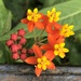 Tropical Milkweed - Photo (c) Susan J. Hewitt, some rights reserved (CC BY-NC)