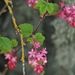 Red-flowering Currant - Photo (c) Minette Layne, some rights reserved (CC BY-NC)