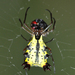 Micrathena decorata - Photo (c) Roger Rittmaster, some rights reserved (CC BY-NC)