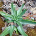 Echeveria paniculata - Photo (c) Kevin Meza, some rights reserved (CC BY-NC)