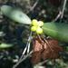 Ivodea decaryana - Photo (c) Franck Rakotonasolo, algunos derechos reservados (CC BY-NC)