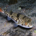 Smooth Toadfish - Photo (c) Sascha, some rights reserved (CC BY-NC), uploaded by Sascha Schulz