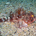 Eastern Red Scorpionfish - Photo (c) Sascha, some rights reserved (CC BY-NC), uploaded by Sascha Schulz