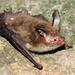 Evening Bats - Photo (c) Ján Svetlík, some rights reserved (CC BY-NC-ND)