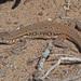 Pedioplanis lineoocellata - Photo (c) Felix Riegel, algunos derechos reservados (CC BY-NC)