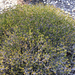 Broom Crowberry - Photo (c) staphnie, some rights reserved (CC BY-NC), uploaded by Stephanie Andreescu