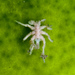 Pycnogonidae - Photo (c) Ken-ichi Ueda, algunos derechos reservados (CC BY), uploaded by Ken-ichi Ueda