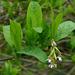 Oemleria cerasiformis - Photo (c) James Gaither,  זכויות יוצרים חלקיות (CC BY-NC-ND)