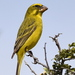 Cape Brimstone Canary - Photo (c) copper, some rights reserved (CC BY-NC)
