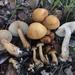 Agrocybe putaminum - Photo (c) Christian Schwarz, algunos derechos reservados (CC BY-NC)