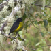 Black-and-yellow Silky-Flycatcher - Photo (c) Hans Zwitzer, some rights reserved (CC BY-NC-SA)