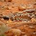 Caprimulgus donaldsoni - Photo (c) Nik Borrow, μερικά δικαιώματα διατηρούνται (CC BY-NC)
