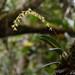 Bulbophyllum baronii - Photo (c) Guy Eric Onjalalaina, osa oikeuksista pidätetään (CC BY-NC)