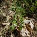 Crocanthemum bicknellii - Photo (c) Pat Deacon, algunos derechos reservados (CC BY-NC)