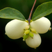 Common Snowberry - Photo (c) James Gaither, some rights reserved (CC BY-NC-ND)