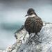 Churrete Costero - Photo (c) Island Conservation, algunos derechos reservados (CC BY-NC-ND)