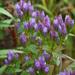 Gentianella quinquefolia - Photo (c) Peter Gorman, algunos derechos reservados (CC BY-NC-SA)